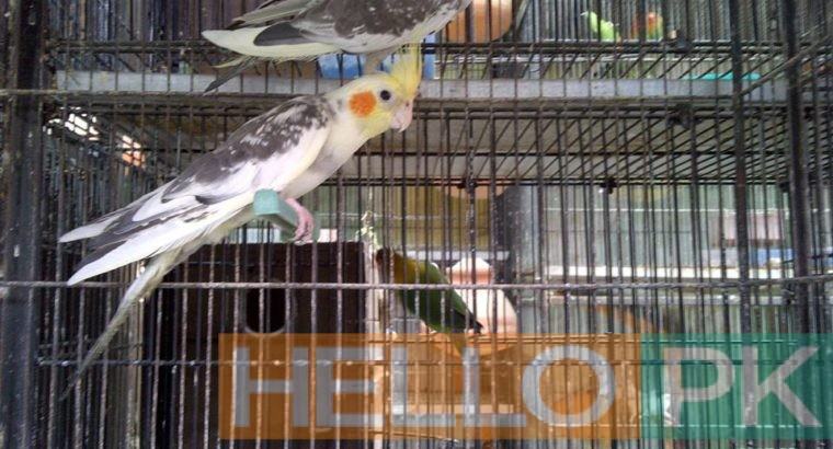 cockatiel for sale