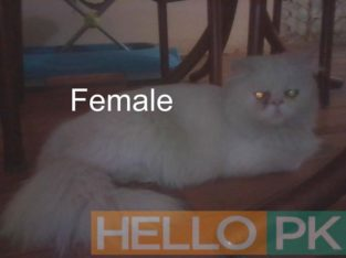 Pure White Persian Pair For Sell!!