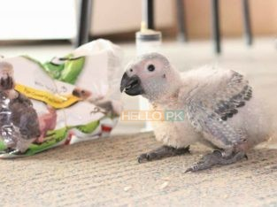 Grey parrot chicks.. 34,000