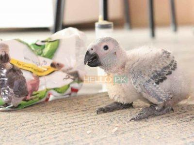 Grey parrot chicks.. 34,000
