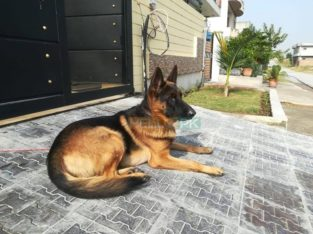 non ped male dog for sale, Islamabad