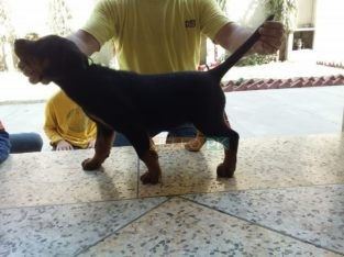 Rottweiler femal 2 month