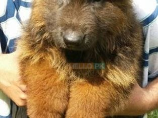 Garman shepherd Garman shepherd Male for sale , Lahore