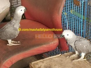 Gray Parrot Local Birds Farm Breed For Sale