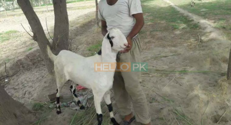 Bakray goat for qurbani And Meat Business. Sehet mand, vaccinated pure nasal k bakray