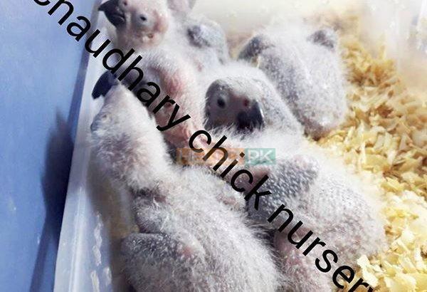 Hand feed Pahari Chicks