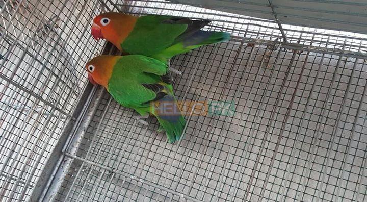 Fisher breeder pair 1,500