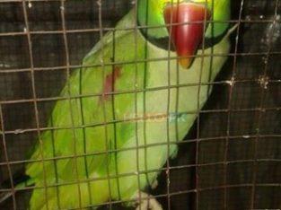 Talking parrot 25,000