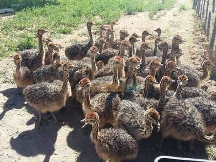 Ostrich chicks 03126080981 Rs20,000 Punjab, Pakistan