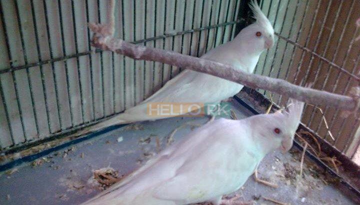 Albino Latino Personta Love Birds Eno Coctail Fellow For Sale Lahore, Pakistan