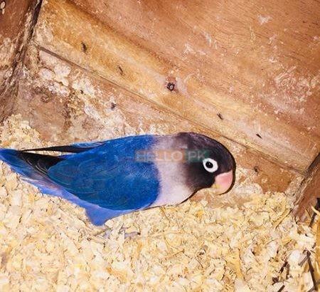 Love birds Lahore
