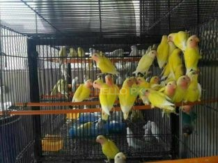 ALL BIRDS for sale