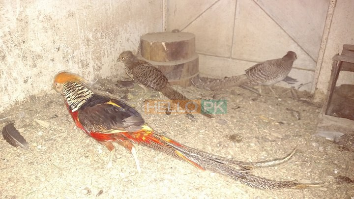 Red golden Pheasant Karachi
