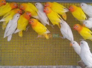 Love birds,Albino,Latino prsunata blue,black mask for sale