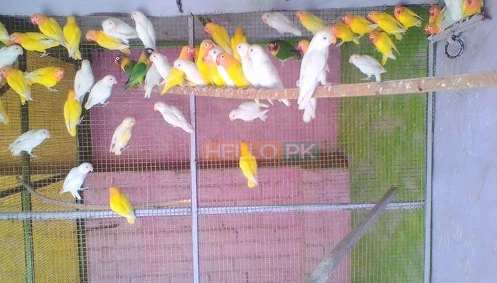 Love birds,Albino,Latino prsunata blue,black mask for sale | Free