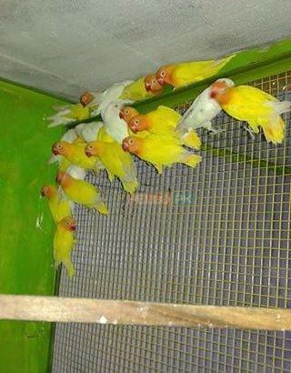 Love birds,Albino,Latino prsunata blue,black mask for sale