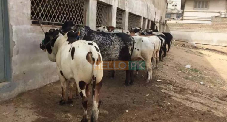 Cows and bulls for qurbani 2018