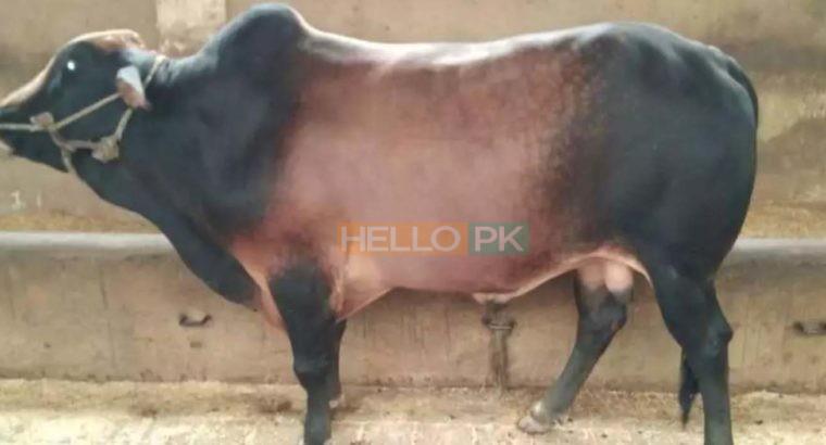 Qurbani janwar bulls for sale 2018. Karachi