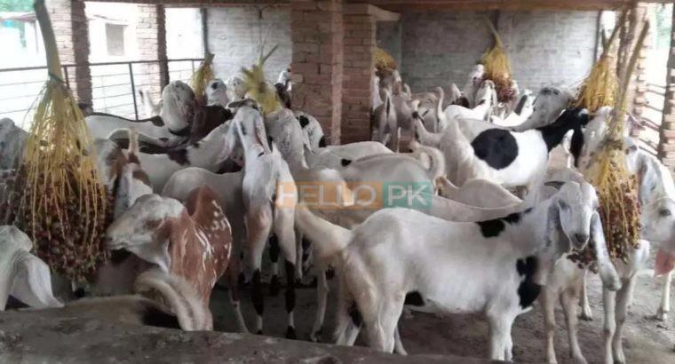 38 Male goat bakra for eid (qurbani) Rajanpuri cross breed