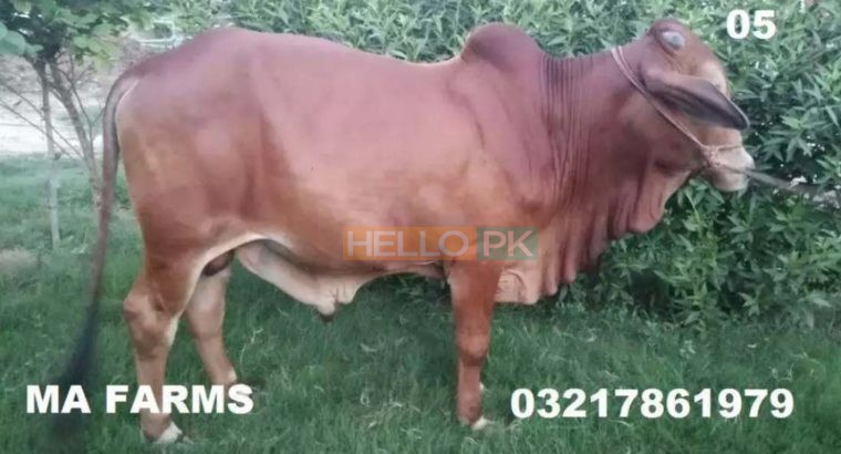 Bulls for Qurbani for Sale Vaccinated Animals