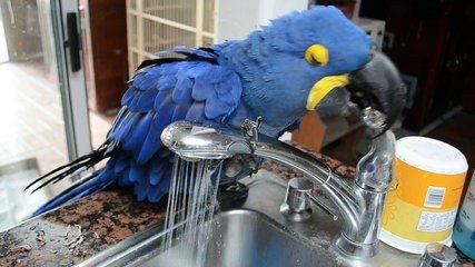 Talking Blue and Gold Macaw Pair with Cage