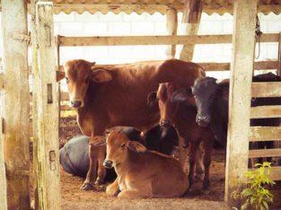 Tayyar Dairy FarmBhainso Ka Bara.1000 To 8000 sqyd.Fori Qabza.