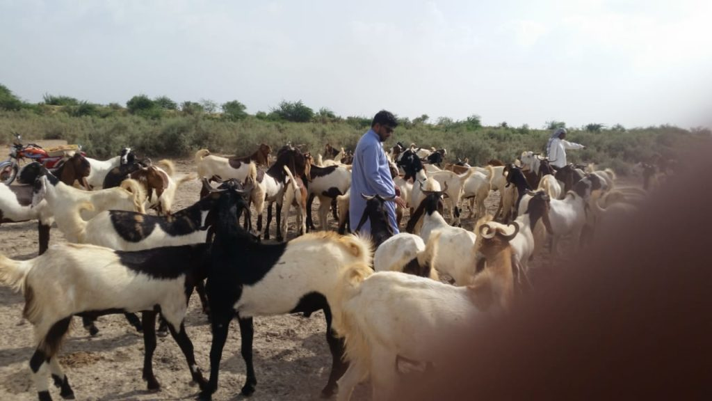 Pure Breed Goat Stock | Free Classified in Pakistan