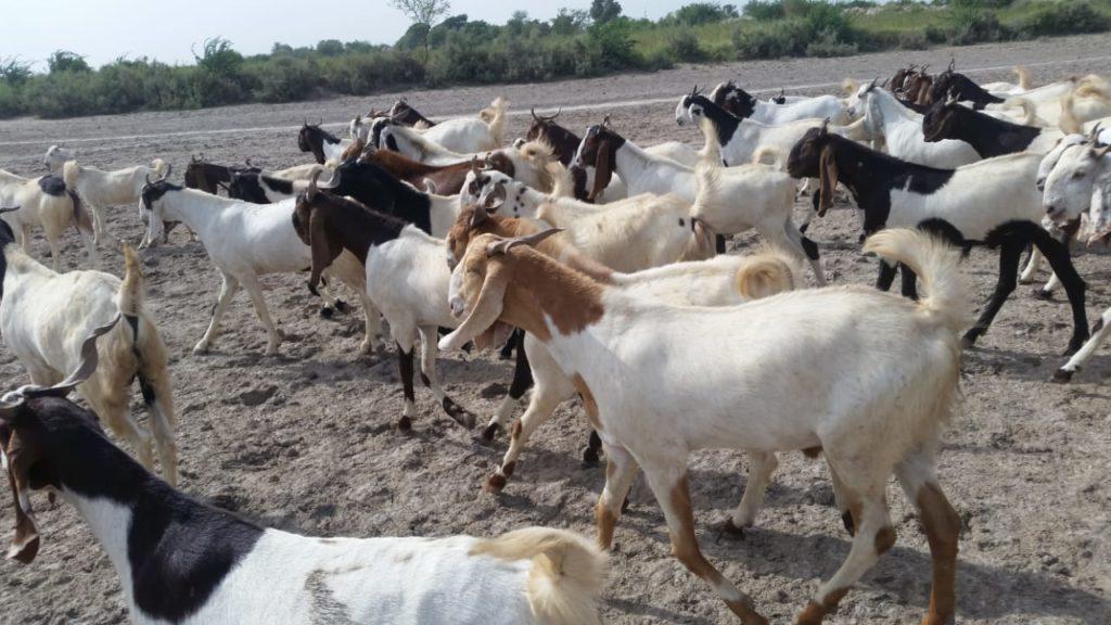 Pure Breed Goat Stock | Free Classified in Pakistan