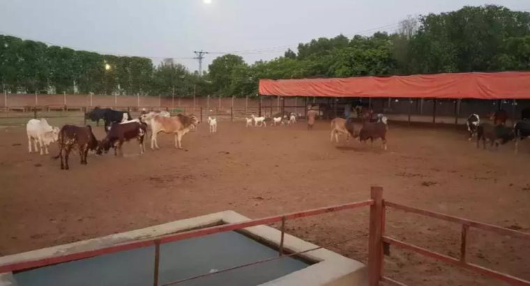 Beautiful Animals For Eid Qurbani.With Free Home Delivery