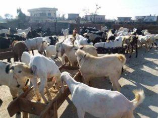 Qurbani Ke Leye Desi Bakray Goats.Rajanpuri,Beetal,Desi