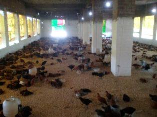 Healthy Golden Misri Chozay(Chicks) or Murghian(Hen) For Business