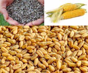 Gandum| Surajmukhi| Makai Mojod he.Market se kam Rate me Rabta Karain