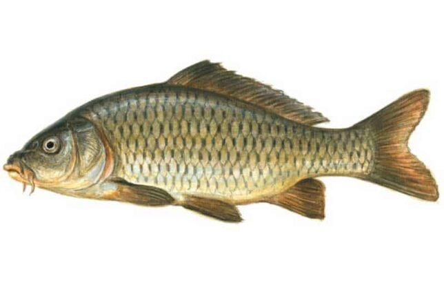 fish-available-for-sale-Methe-Pani-Ke-Muchli.Delivery-Available-gulfam-fish